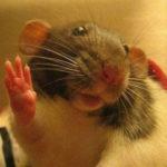 Щекотка вызывает дикий хохот у крыс!